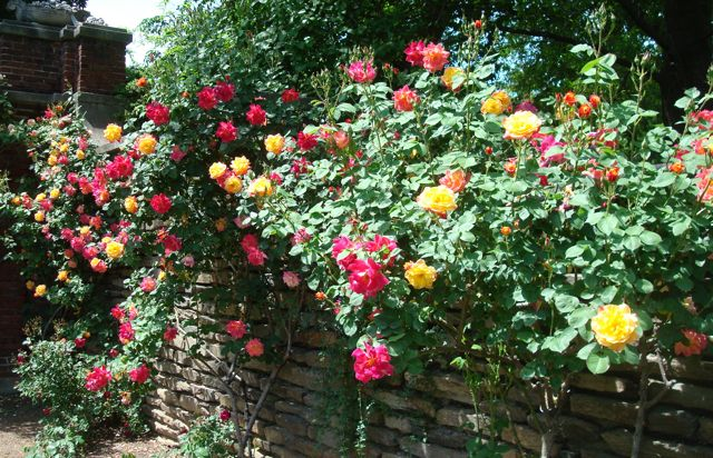 The brilliant 'Joseph's Coat' rose   What's Blooming at D.O.